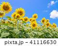 ひまわり 向日葵 夏の写真 41116630