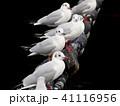 ユリカモメ 鳥 カモメの写真 41116956