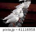 ユリカモメ 鳥 カモメの写真 41116958