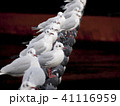 ユリカモメ 鳥 カモメの写真 41116959