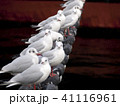 ユリカモメ 鳥 カモメの写真 41116961