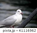 ユリカモメ 鳥 カモメの写真 41116962
