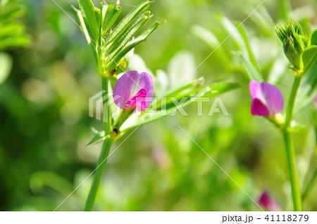 カラスノエンドウの花 41118279