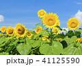 花 向日葵 夏の写真 41125590