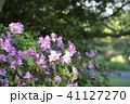 ツツジ ピンク 晴れの写真 41127270