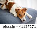 ソファーで休む犬 41127271