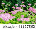 あじさい 紫陽花 ピンクの写真 41127562
