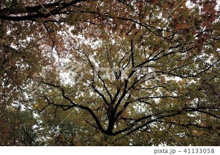 ローアングルで見上げた森の木々 41133058
