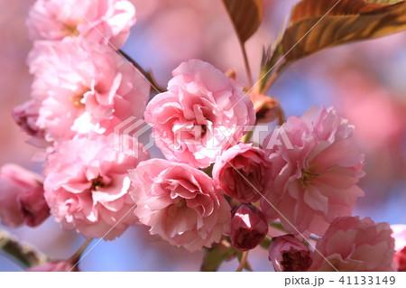 桜 41133149