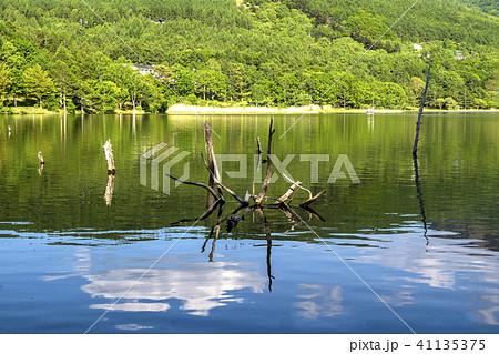 信州 長野県北佐久郡立科町白樺高原 女神湖の枯れ木 41135375