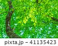 新緑 葉 植物の写真 41135423