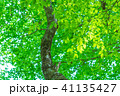新緑 葉 植物の写真 41135427