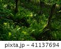 シダ植物 シダ 林の写真 41137694