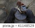 ゴリラ 41148529
