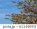 桜 植物 花の写真 41149059