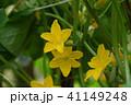 未熟なキュウリと花 41149248