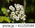 蕗の種(綿毛) 41150588