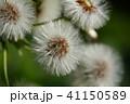 蕗の種(綿毛) 41150589