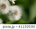 蕗の種(綿毛) 41150590