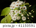 蕗の種(綿毛) 41150591