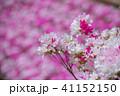 白とピンクのツツジ 41152150