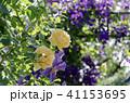 花 植物 薔薇の写真 41153695