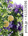 花 植物 薔薇の写真 41153696