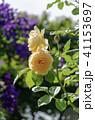 花 植物 薔薇の写真 41153697