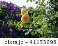 花 植物 薔薇の写真 41153698