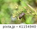 アカスジカメムシ(赤条亀虫)とヤブジラミ 41154940