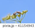 アカスジカメムシ(赤条亀虫)とヤブジラミ 41154943