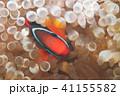 魚 クマノミ イソギンチャクの写真 41155582