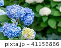あじさい 紫陽花 花の写真 41156866