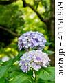 あじさい 紫陽花 花の写真 41156869