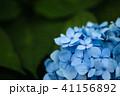 花 紫陽花 植物の写真 41156892
