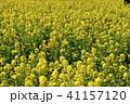 菜の花 春 花の写真 41157120