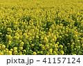 菜の花 春 花の写真 41157124