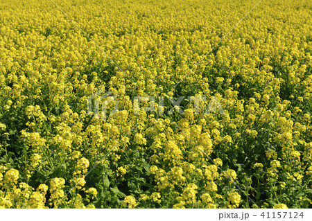 菜の花畑 41157124