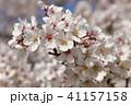 桜 春 花の写真 41157158