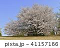 桜 春 花の写真 41157166