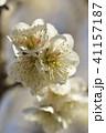 梅 春 花の写真 41157187