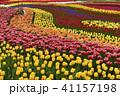 木曽三川公園 チューリップ 花の写真 41157198