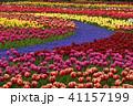 チューリップ 花 植物の写真 41157199
