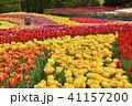 木曽三川公園 チューリップ 花の写真 41157200