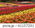 木曽三川公園 チューリップ 花の写真 41157201