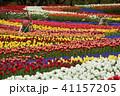 木曽三川公園 チューリップ 花の写真 41157205
