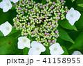 花 紫陽花 額紫陽花の写真 41158955