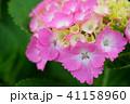 花 紫陽花 あじさいの写真 41158960
