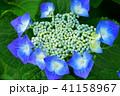 ブルーの額紫陽花11 41158967