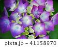 花 紫陽花 あじさいの写真 41158970